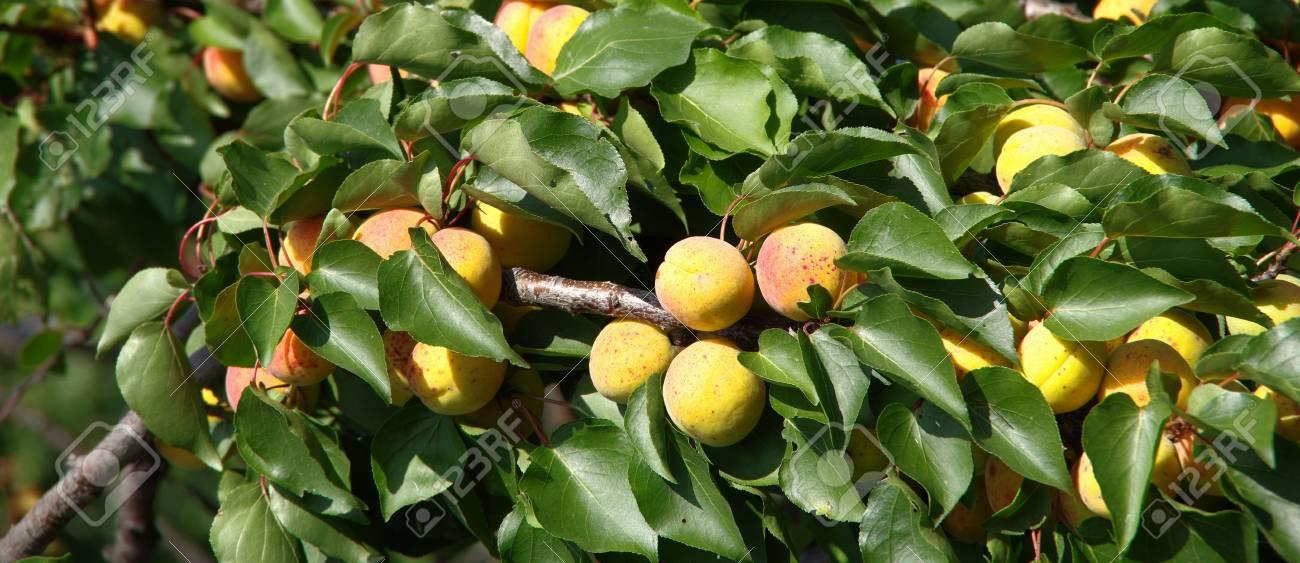 豊富なアプリコットが木の枝に熟...