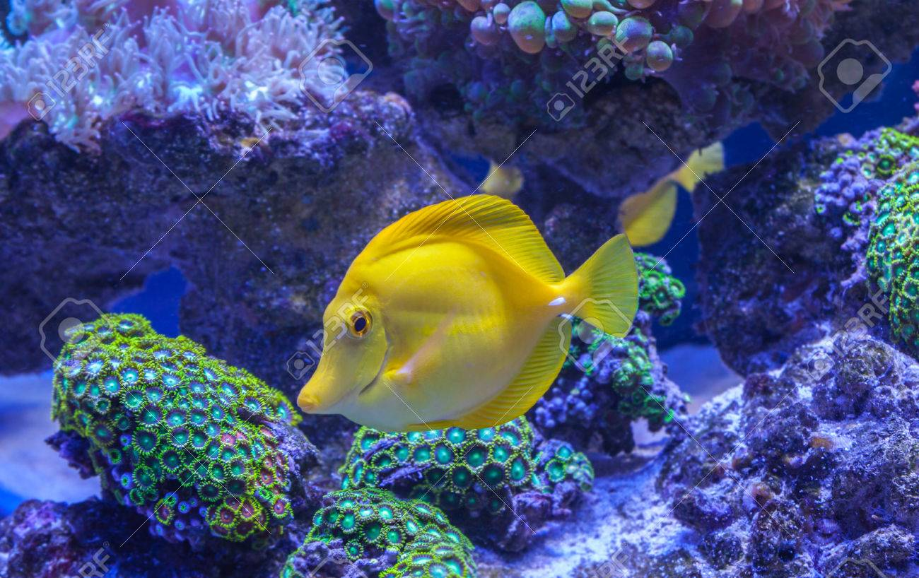 Yellow Tang Zebrasoma Flavescens Saltwater Aquarium Fish Stock Photo