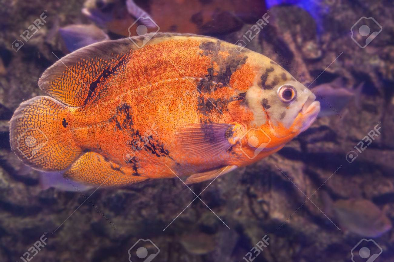 Cichlid Freshwater Fish Photos >> Freshwater Aquarium Fish Species ...