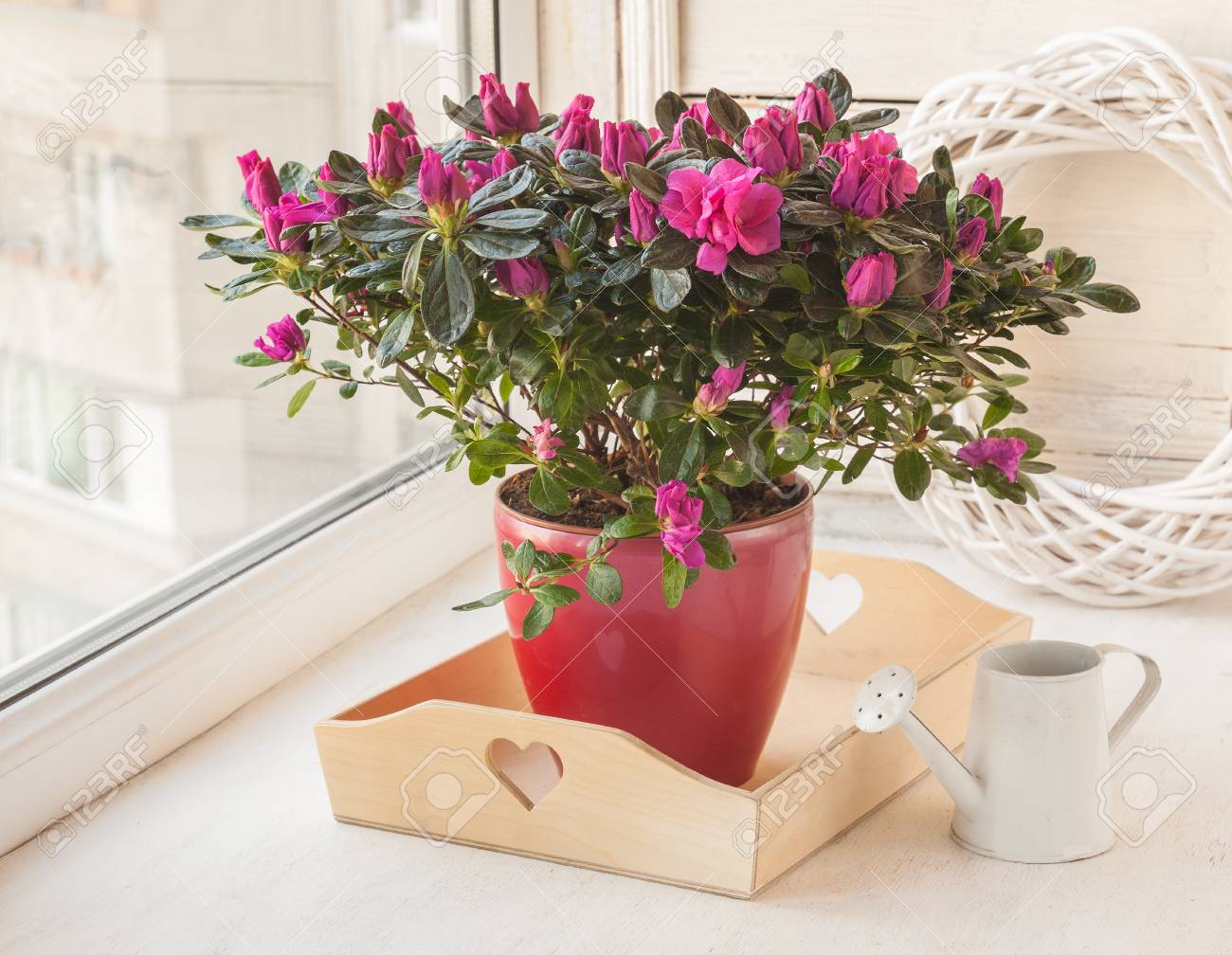 Rhododendron In Pot.Azalea Rhododendron Simsii In A Pot Near The Watering Can