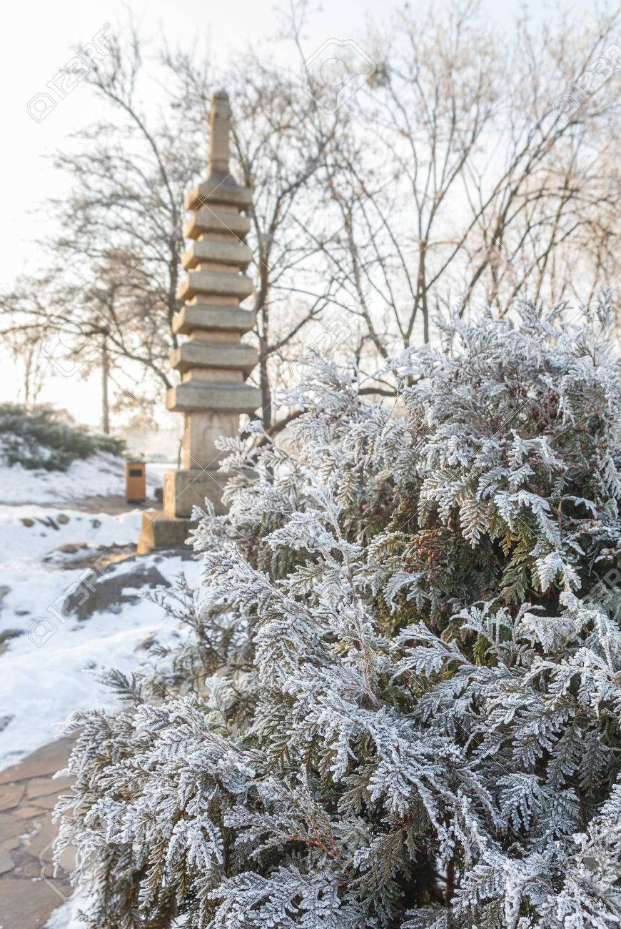 Thuja Zweige Mit Frost Im Japanischen Offentlichen Garten In Kiew Im