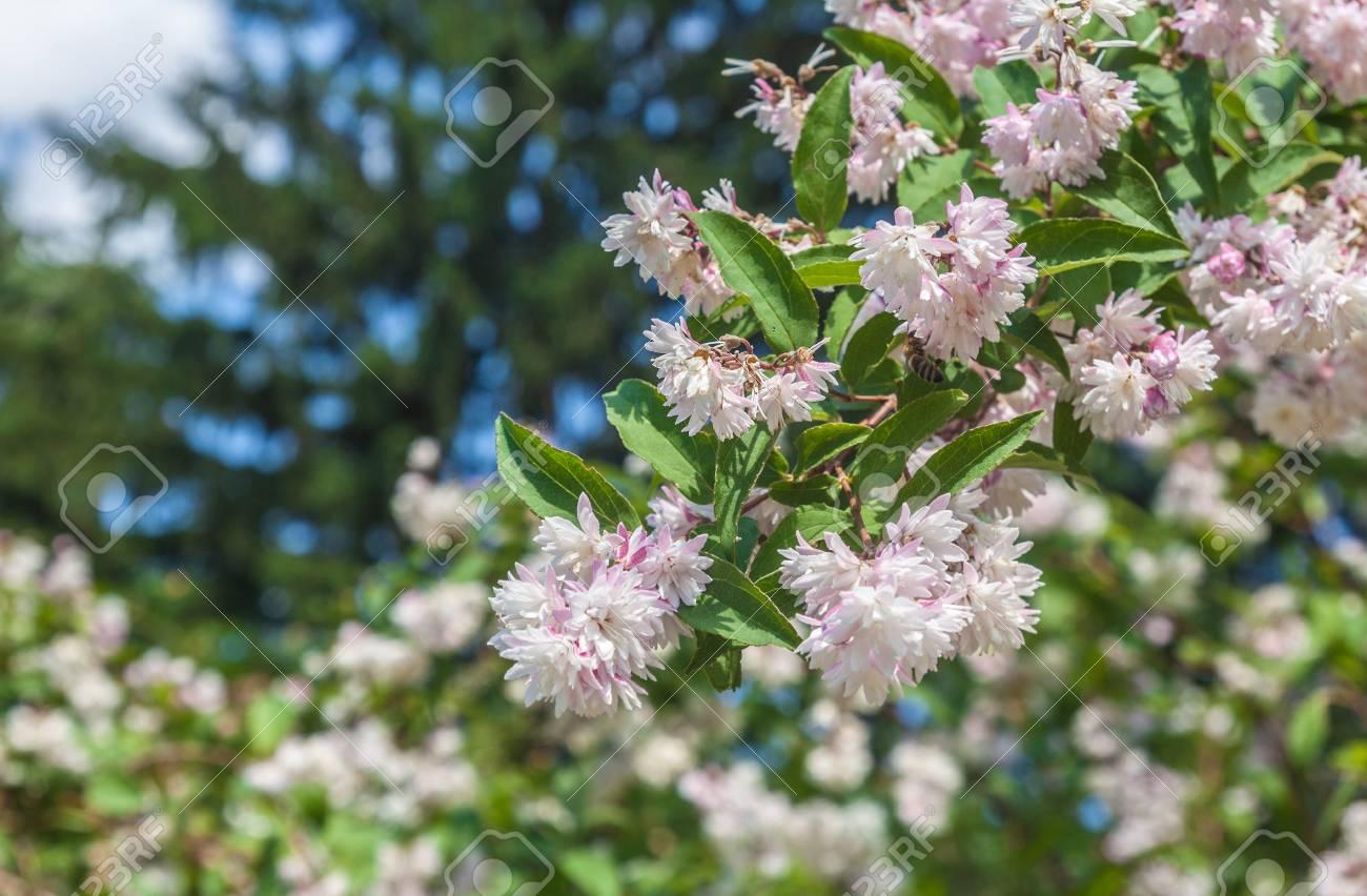 Branch Of Elegant Pinkish White Fuzzy Deutzia Flowers On A Blur
