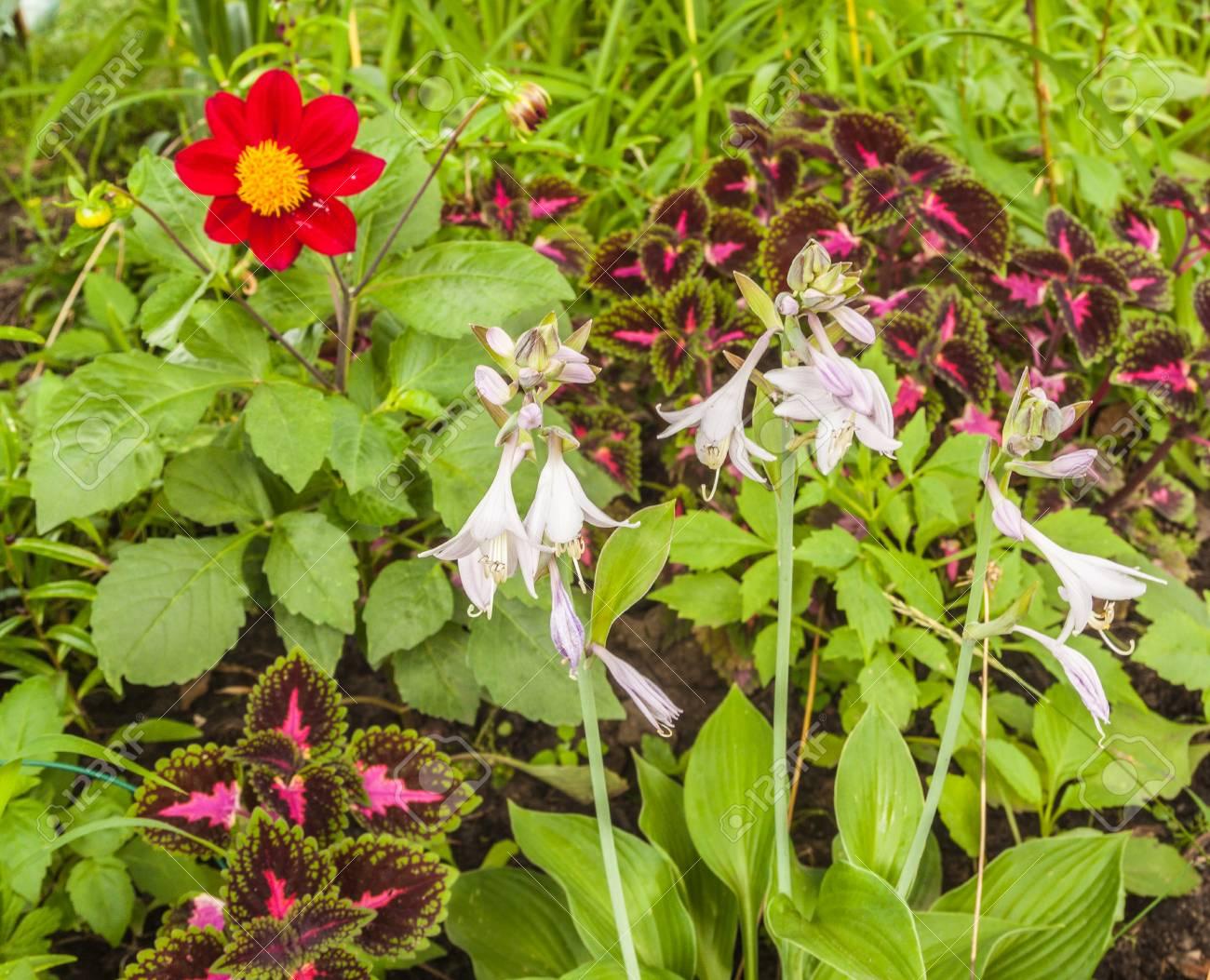 Flowerbed Of Dahlia Coleus And Hosta In Garden Harmonious