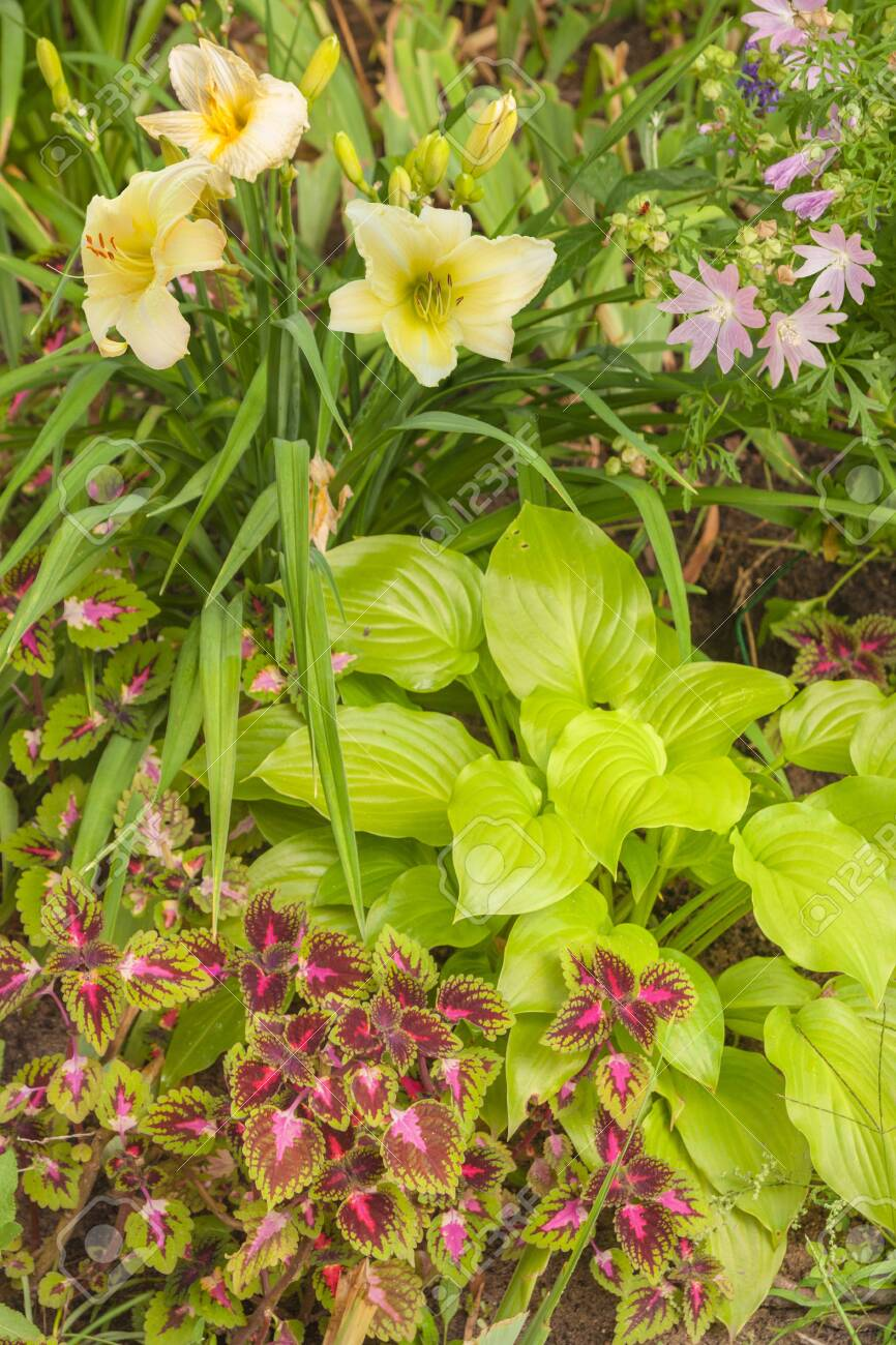 Lavatera Daylily And Coleus In The Garden A Flower Bed With