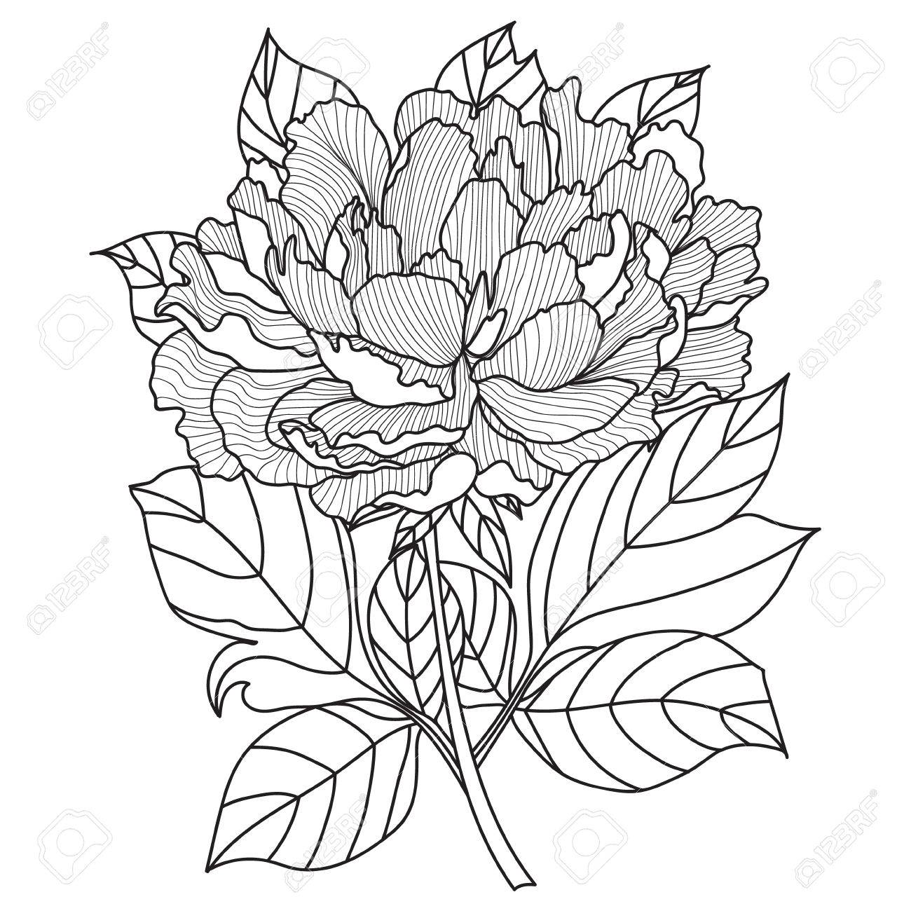 vector peony coloring book page for adults hand drawn artwork