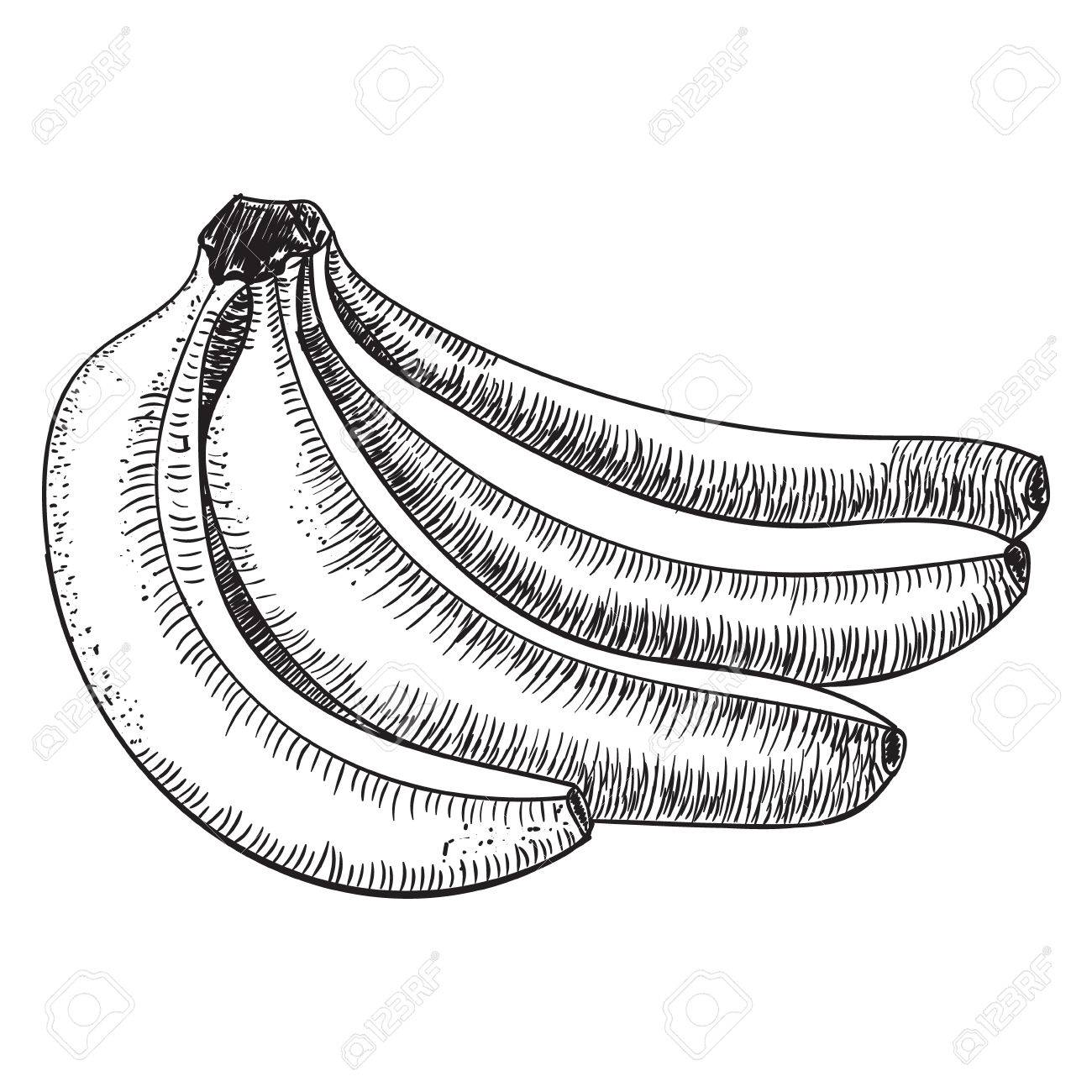 Bananas Of SketchesDetailed Citrus DrawingVintage Sketch Style Illustration Stock Vector