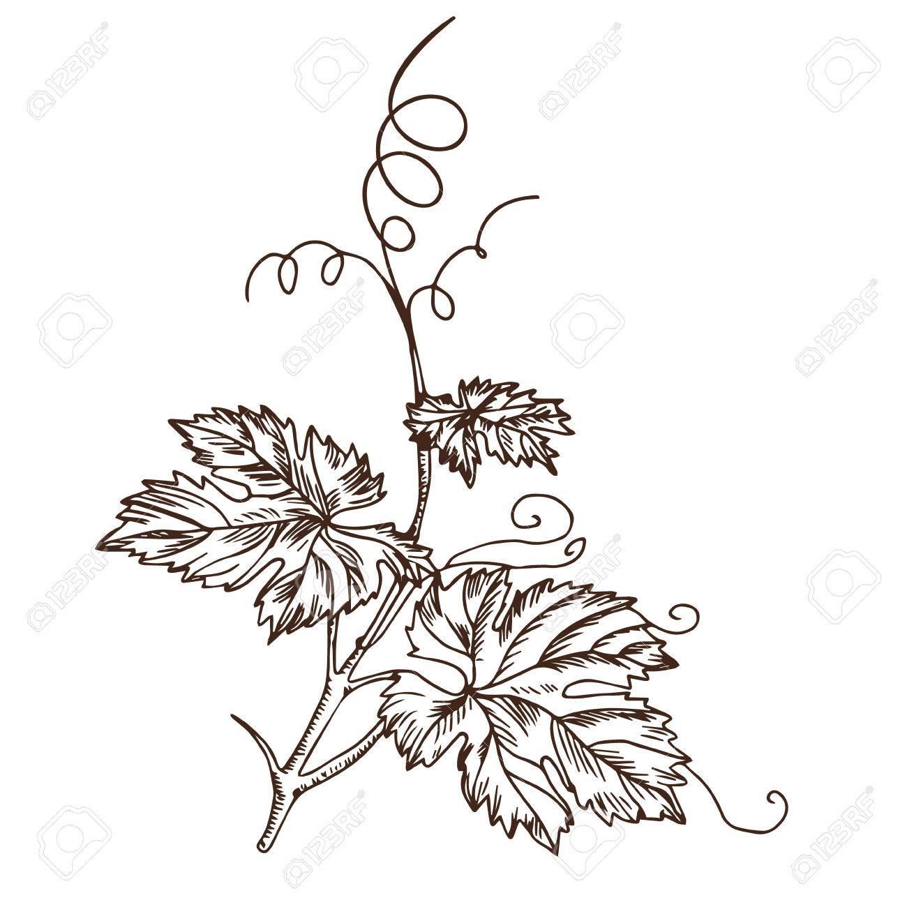Grape Leaves In The Style Of A Sketch Royalty Free Cliparts Vectors And Stock Illustration Image 63114992