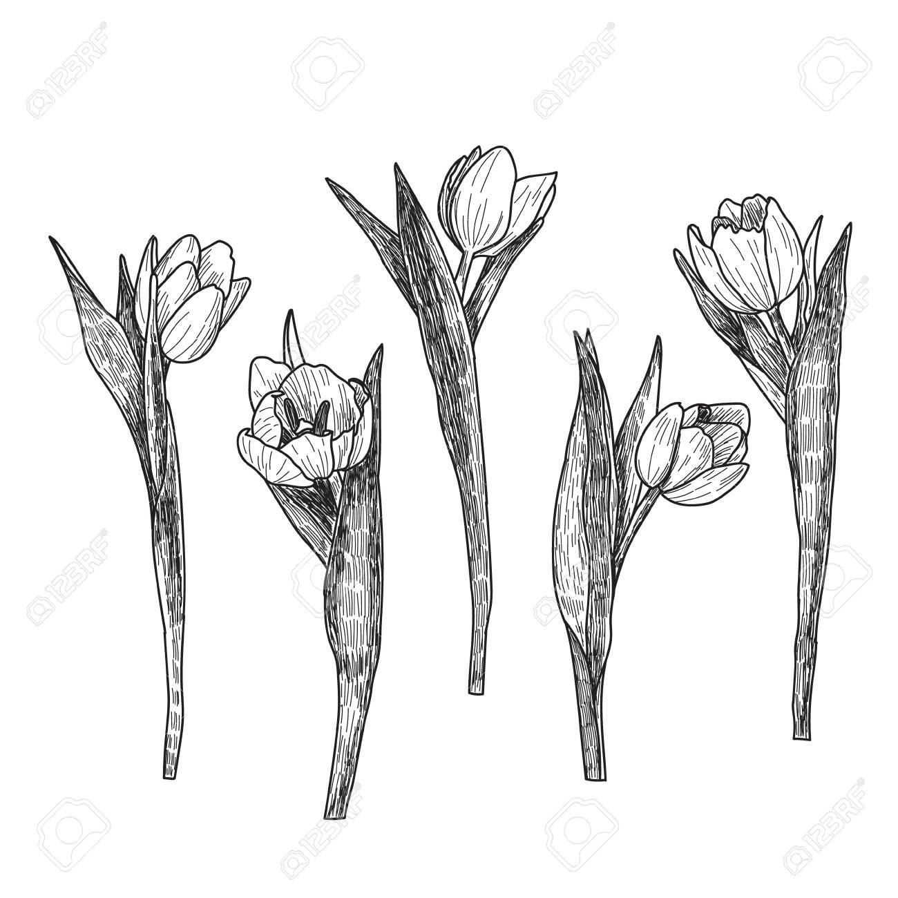 Hand Gezeichnet Dekorative Tulpen Isoliert Auf Weiß Hand