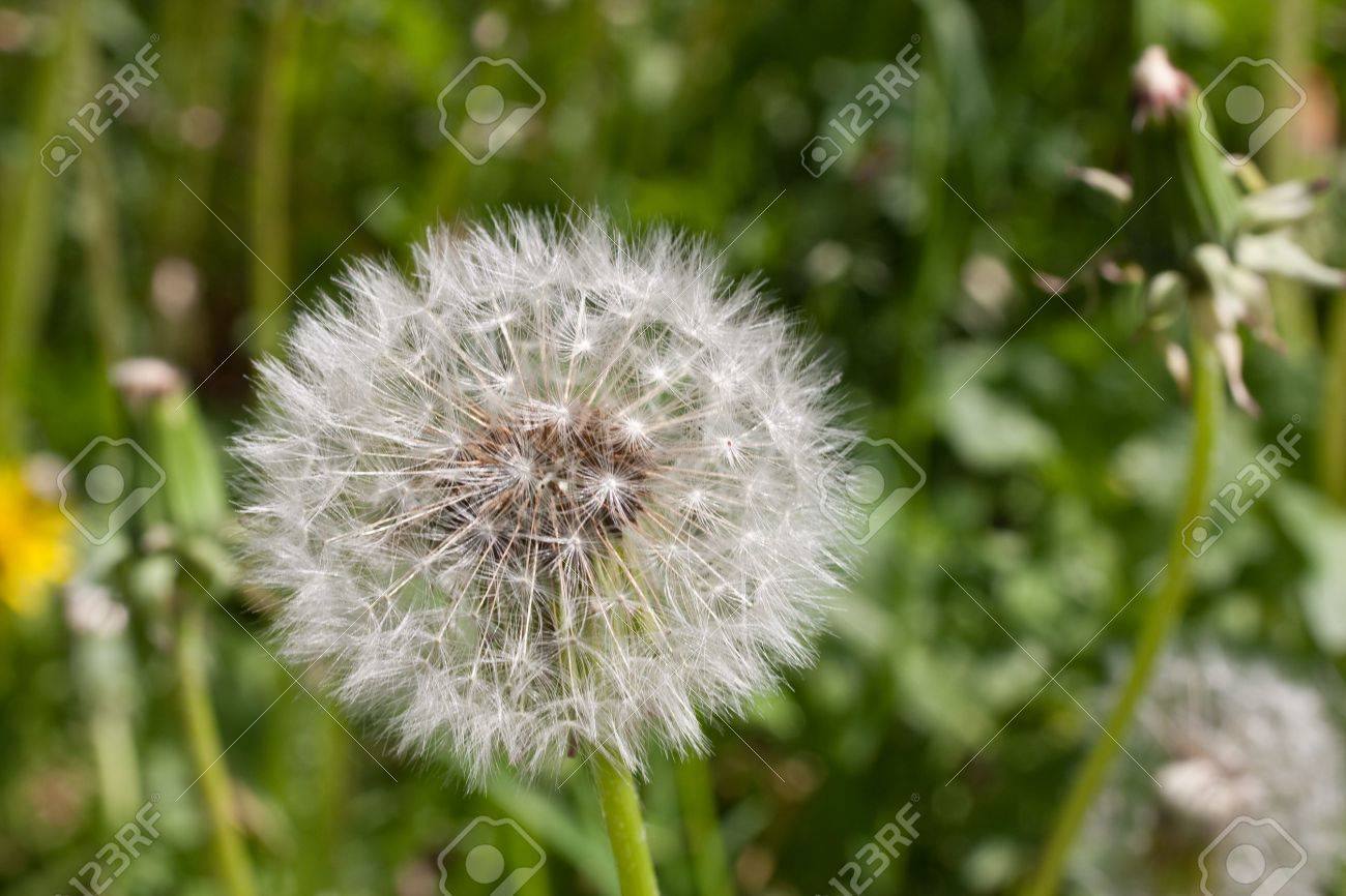 Close-up of dandelion on green grass background Stock Photo - 7034079