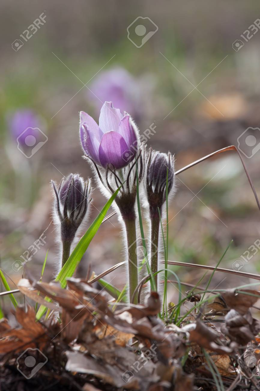 Close-up of pasqueflower in wildlife Stock Photo - 17171464