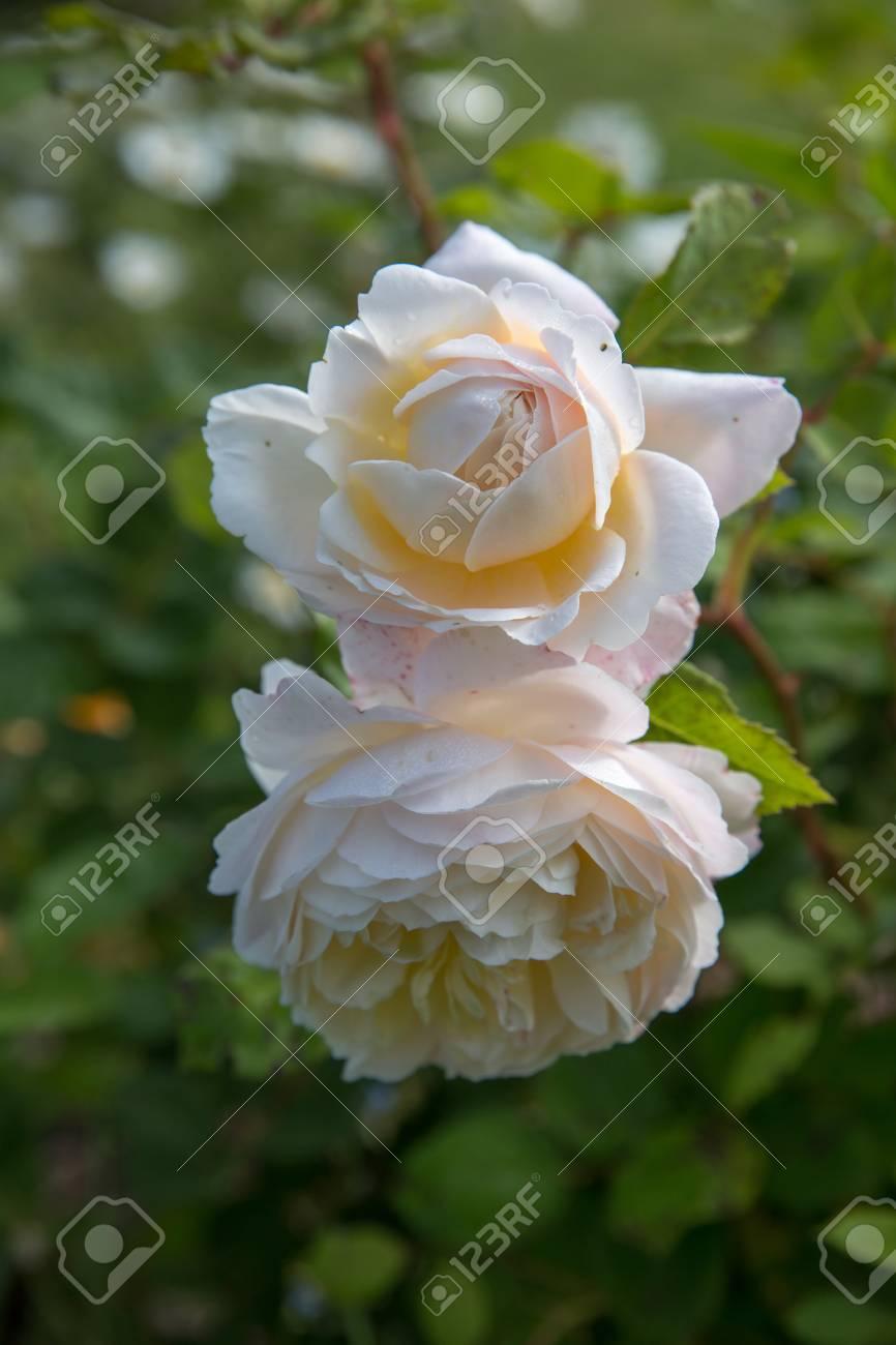 Fiori In Inglese.Immagini Stock L Inglese In Fiore E Rosa In Giardino In Una