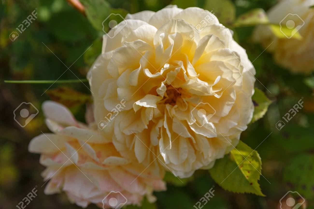 Blooming Yellow Orange English Roses In The Garden On A Sunny ...