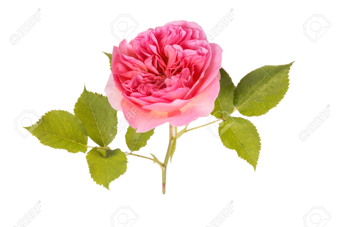 Pink rose flower isolated on white background, close up. - 164490599