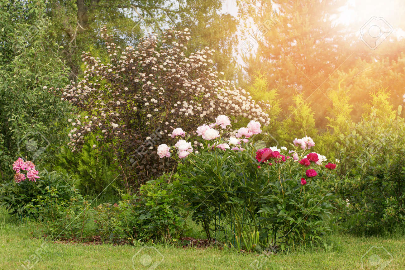 Wonderful panoramic view of the country garden with many peonies and other perennials in the bright sun. - 164484473