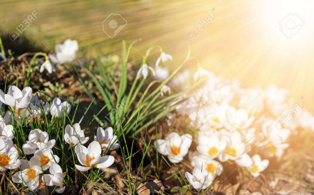 The first spring flowers are white crocuses and snowdrops on a sunny day. Hello march wallpaper, greeting card - 164486153