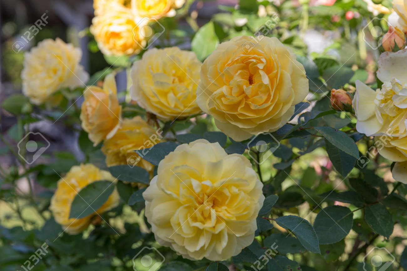 Blooming yellow orange English roses in the garden on a sunny day. - 164505194