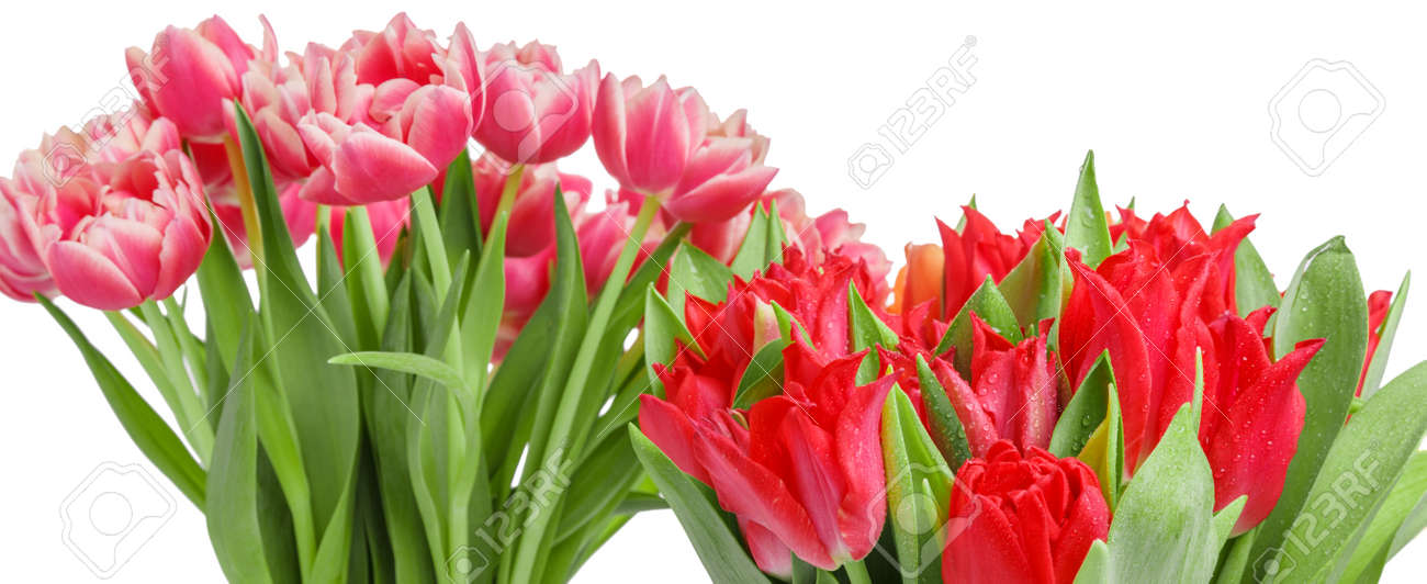 Bouquets of pink and red tulip isolated on white background. 8 March concept - 164993380