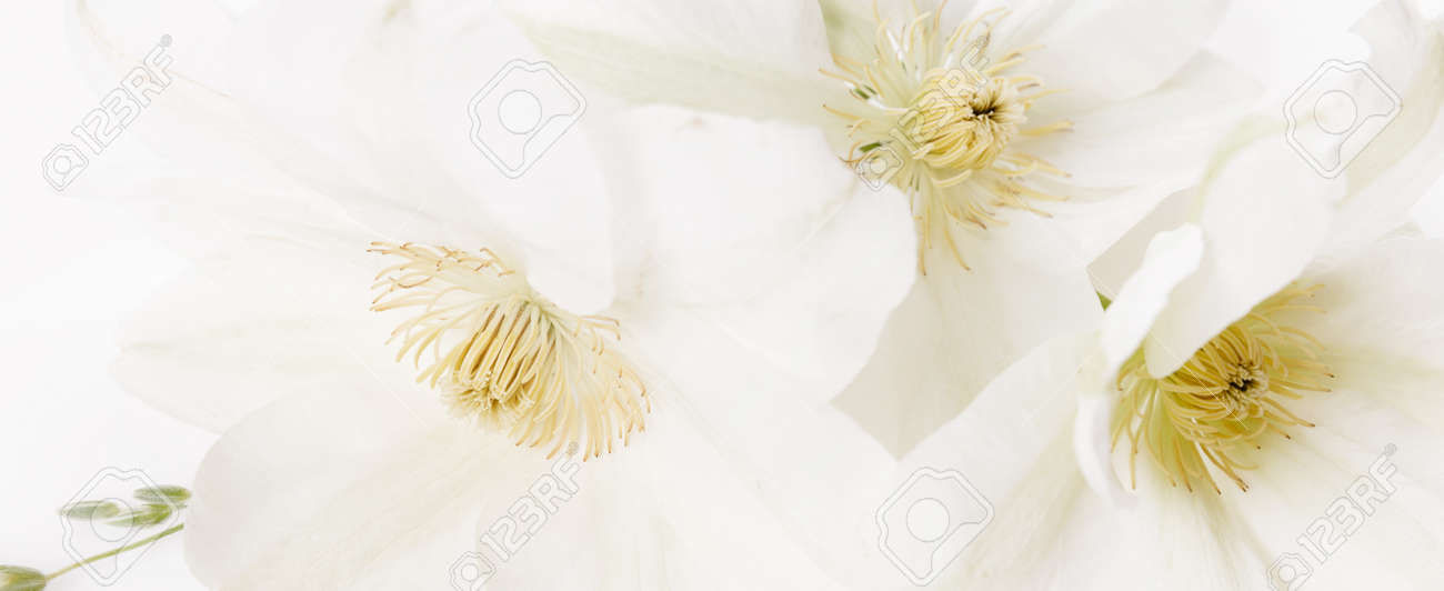 Beautiful aromatic fresh blossoming tender white flowers texture, close up view. Romantic background - 165515105