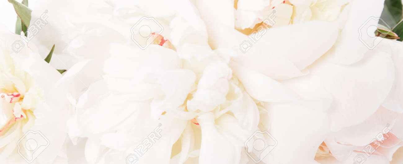 Romantic banner, delicate white peonies flowers close-up. Fragrant pink petals - 165440343