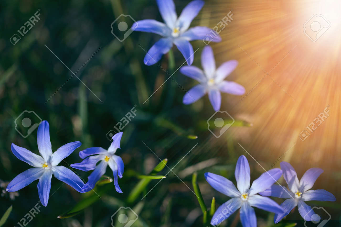 The first spring blue small flowers on a sunny day. Hello April wallpaper, greeting card - 165662755