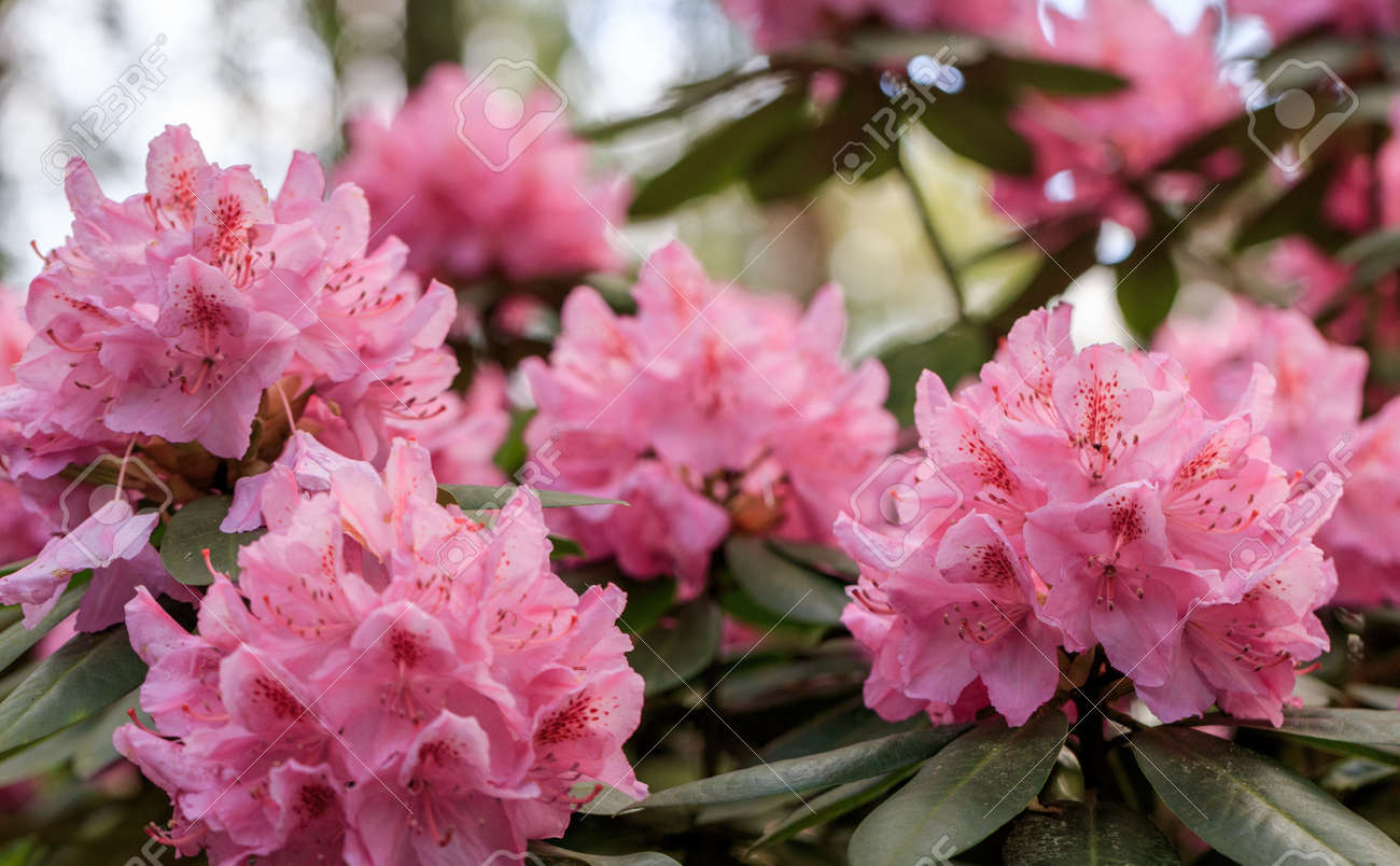 PInk rhododendron macro, close up, lush bloom in the nursery of rhododenrons. - 165663088