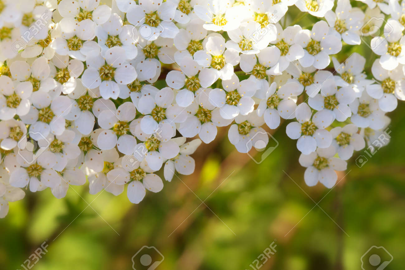 Spring flowering bush of spirea with white small flowers close-up. Abstract spring blossom background - 165714719