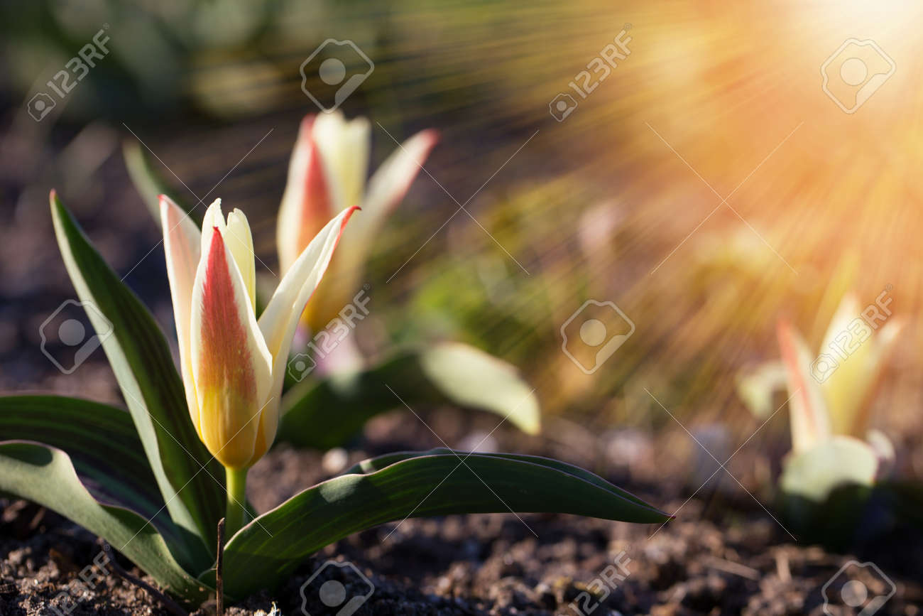 The first spring flowers are small tulips on a sunny day. Hello april wallpaper, spring garden background - 166223298