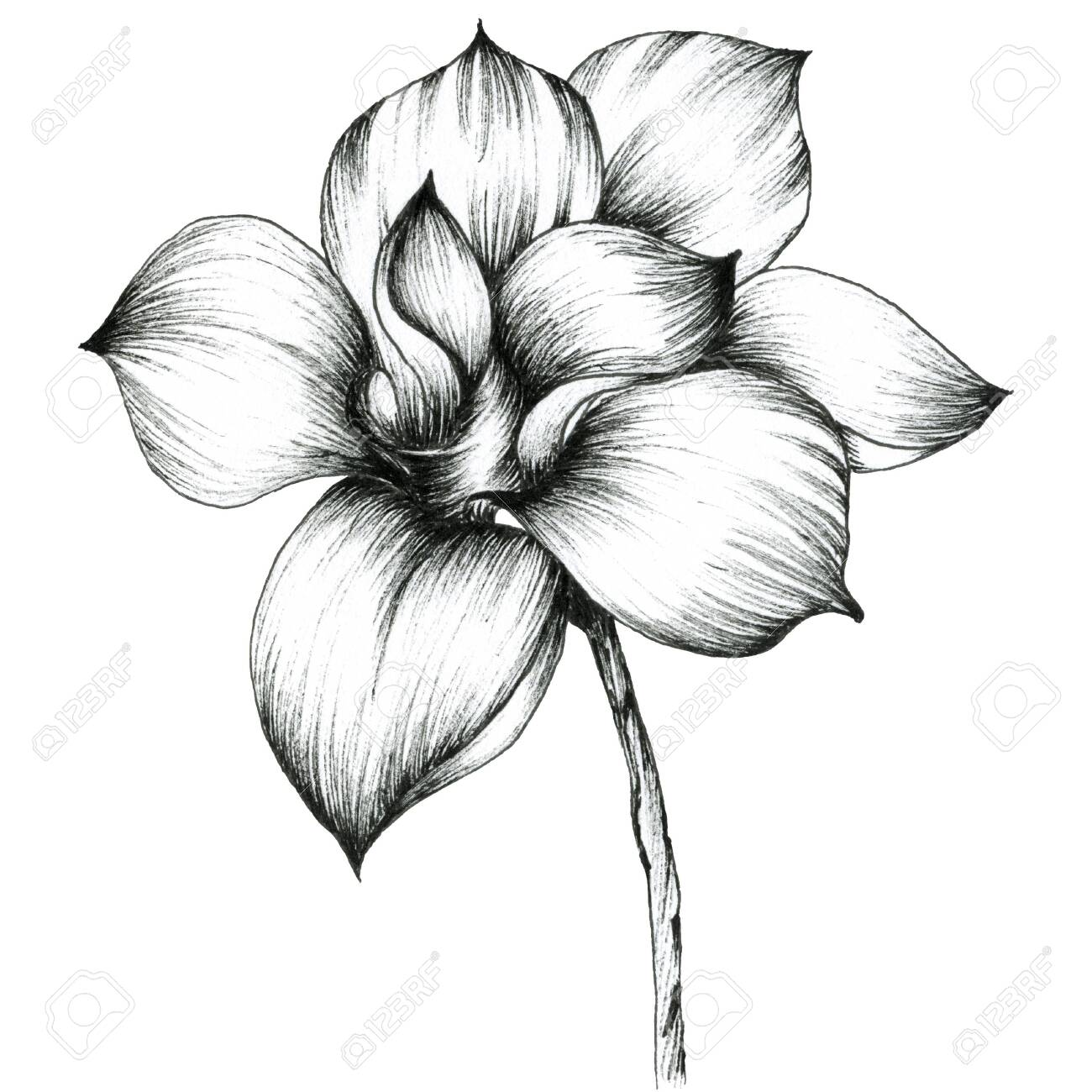 Magnolia Graphic Illustration Of Blooming Magnolia Big Flower Stock Photo Picture And Royalty Free Image Image 130684196,Boneless Ribs In Oven