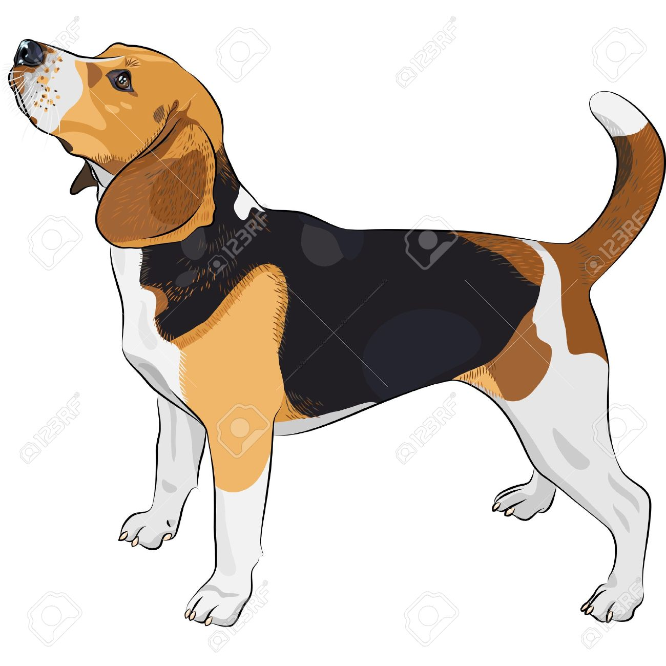 color sketch of the dog Beagle breed - 14607050