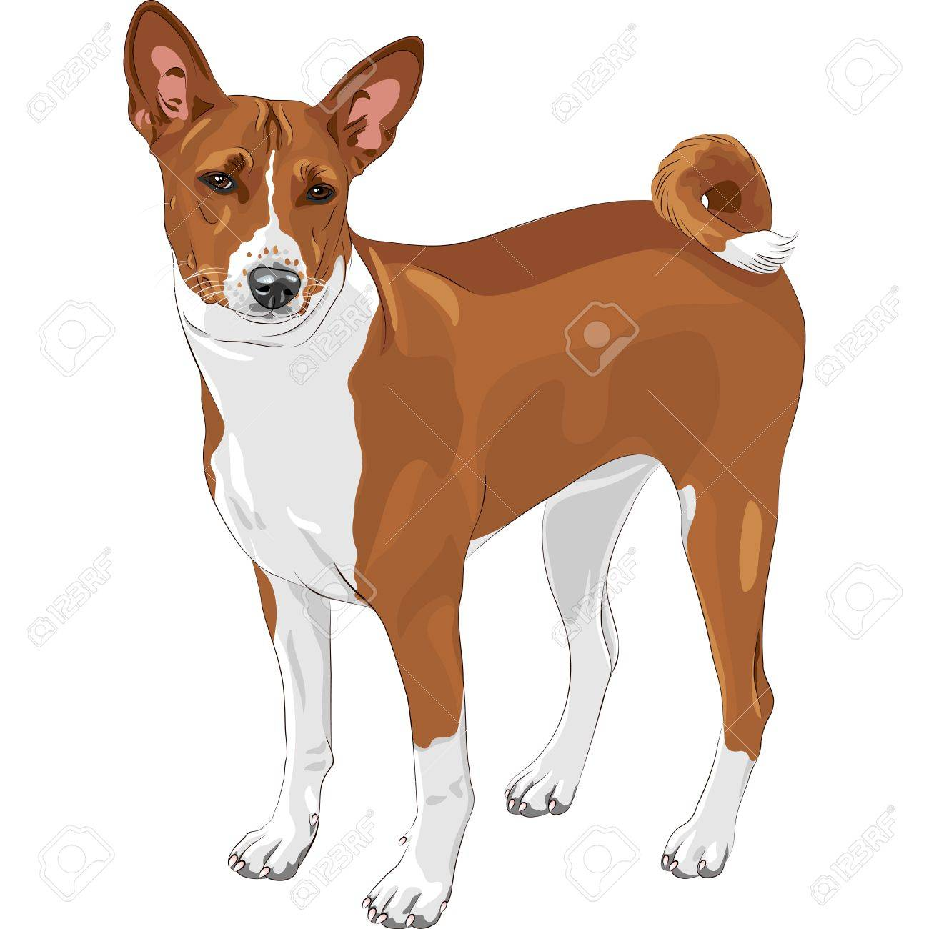 color sketch of the hunting dog Basenji  breed Stock Vector - 14733311