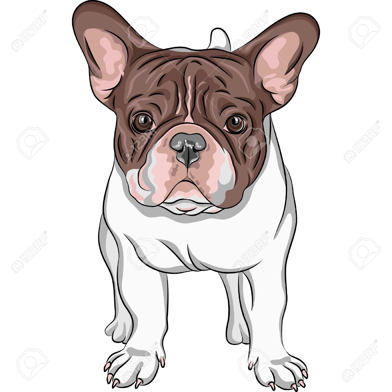 Vector closeup portrait of the domestic dog French Bulldog breed on the white background Stock Vector - 18802753