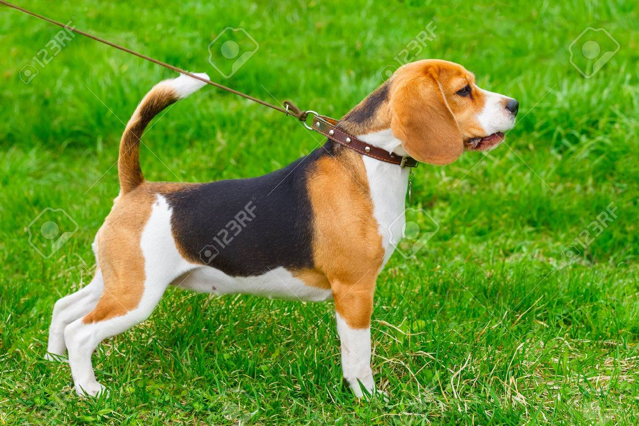 dog Beagle breed standing in rack on a tight leash on green grass - 43333881