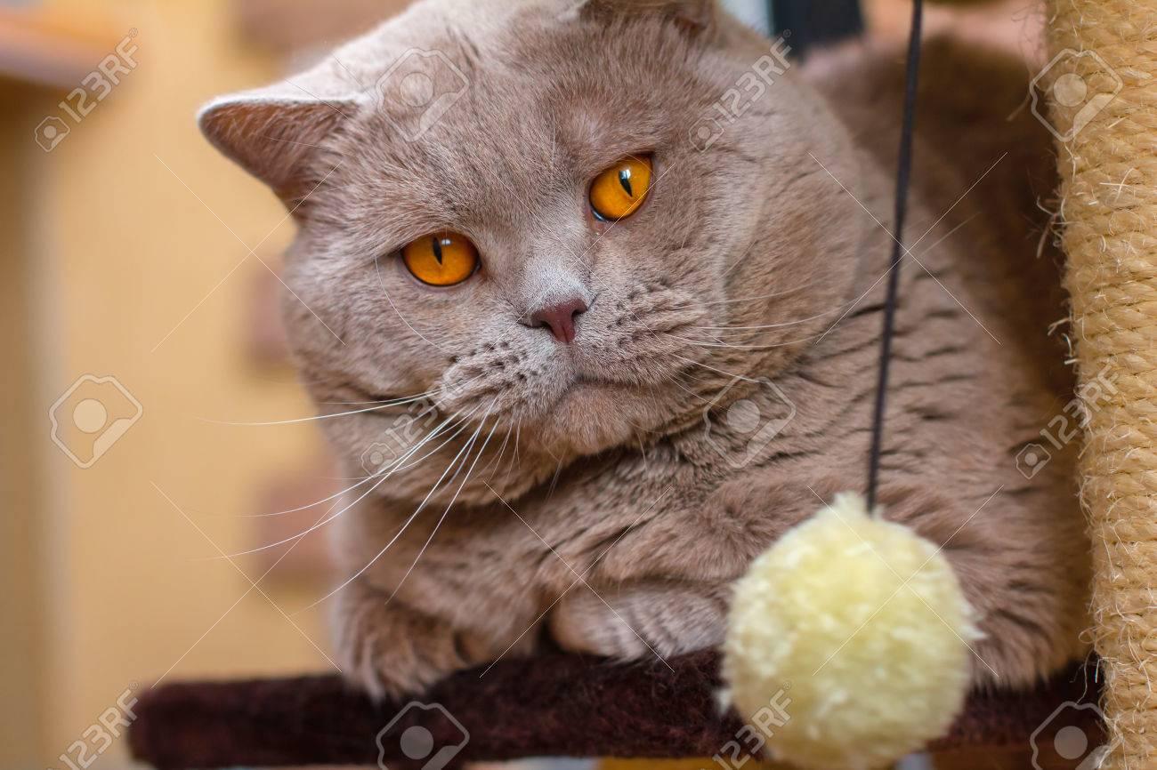 Close up Portrait British Shorthair Lilac Cat With Orange Eyes