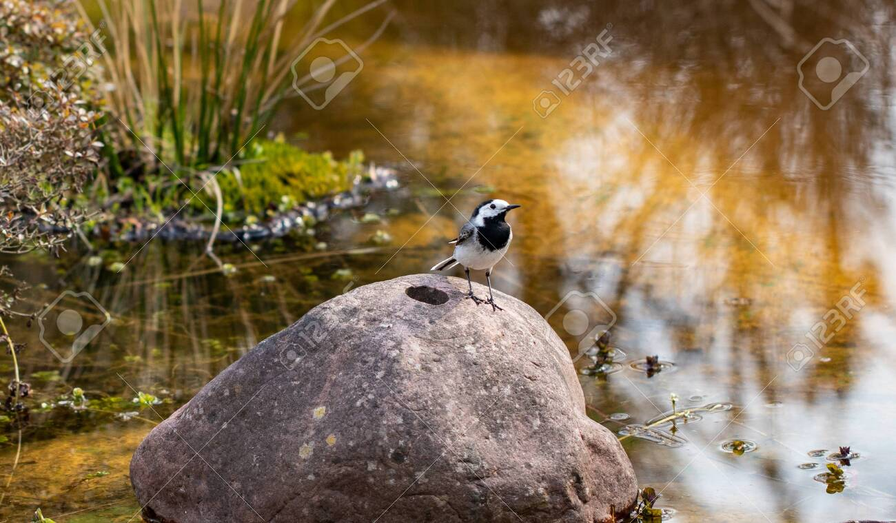 Genus of songbirds. A white wagtail on a rock in a shallow water in early spring in Germany. The motacilla alba is a small passerine bird and kills flies and mosquitoes. - 121197758