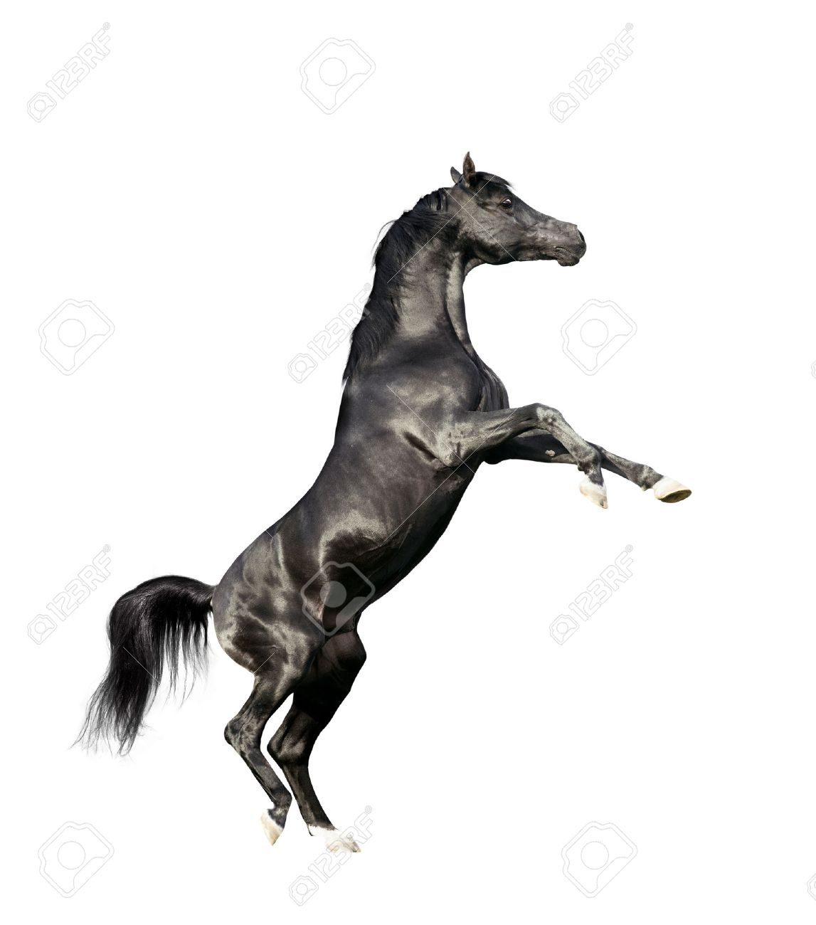 Black Arabian Horse Rearing Isolated On White Background Stock Photo Picture And Royalty Free Image Image 40951613