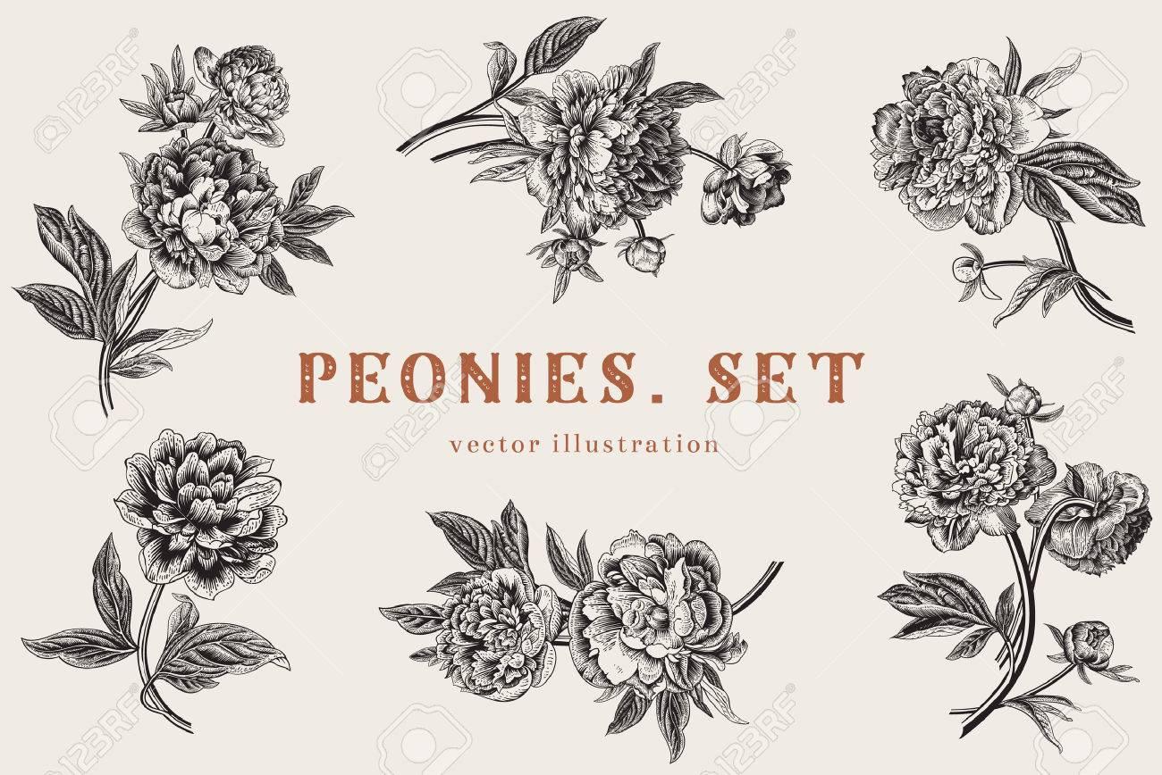 Vintage vector illustration. Peonies. Set. Stock Vector - 43466649