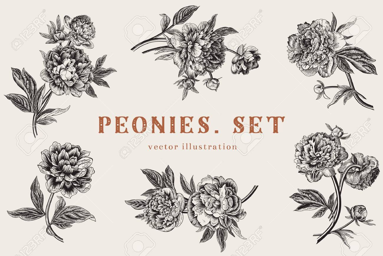 Vintage vector illustration. Peonies. Set. - 43466649