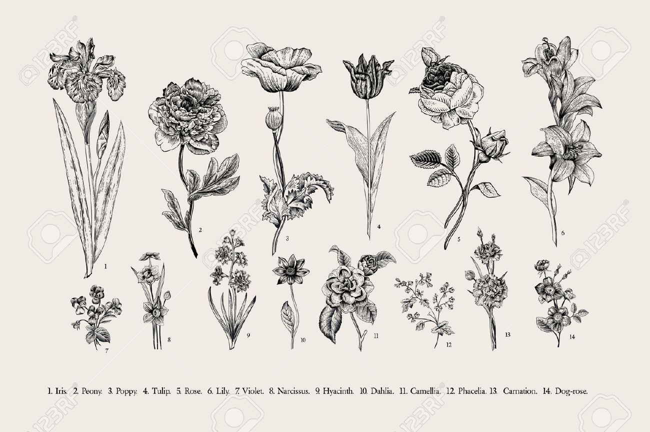 Botany. Set. Vintage flowers. Black and white illustration in the style of engravings. - 50286839