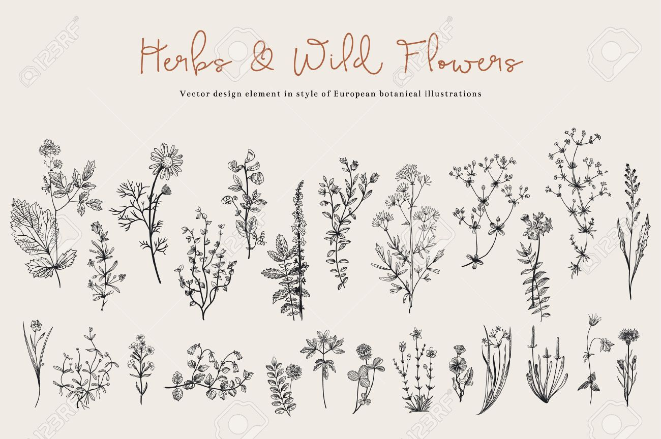 Herbs and Wild Flowers. Botany. Set. Vintage flowers. Black and white illustration in the style of engravings. - 52411601