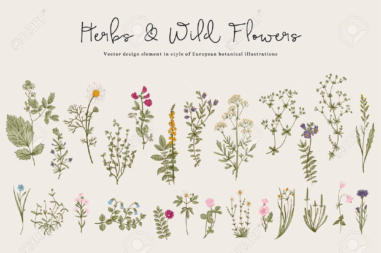 Herbs and Wild Flowers. Botany. Set. Vintage flowers. Colorful illustration in the style of engravings. - 52411604