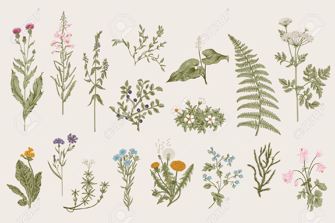 Herbs and Wild Flowers. Botany. Set. Vintage flowers. Colorful illustration in the style of engravings. - 53275969