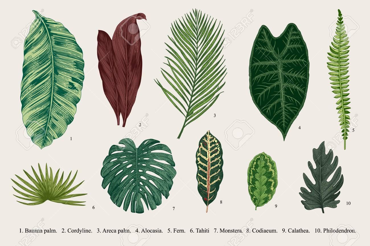 Set Leaf. Exotics. Vintage botanical illustration. - 59921644