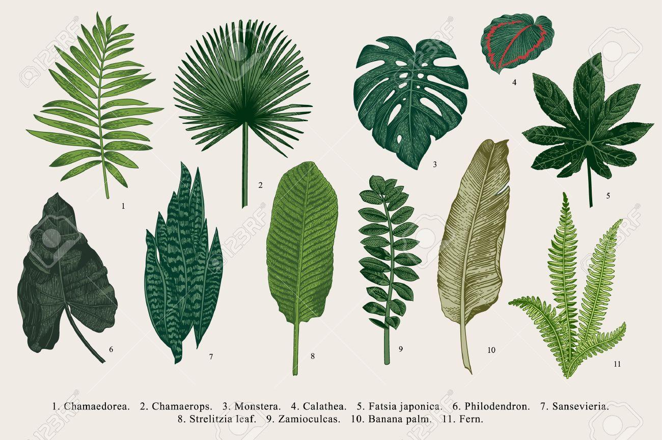 Set Leaf. Exotics. Vintage vector botanical illustration. Colorful. - 64837578