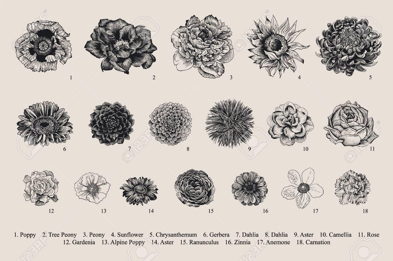 Dahlias set. Botanical vector vintage illustration. Design elements. Black and white - 86224408