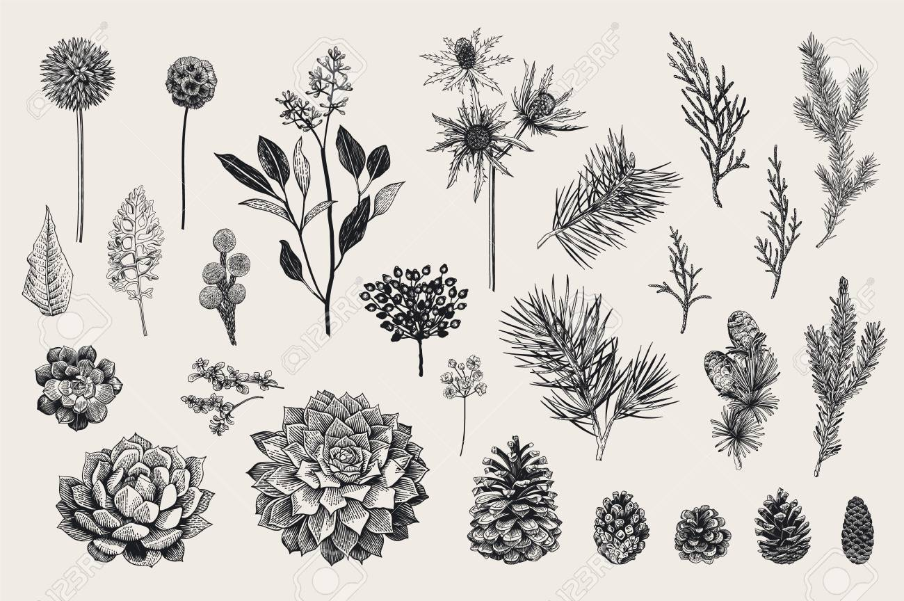 Botanical vector vintage illustration