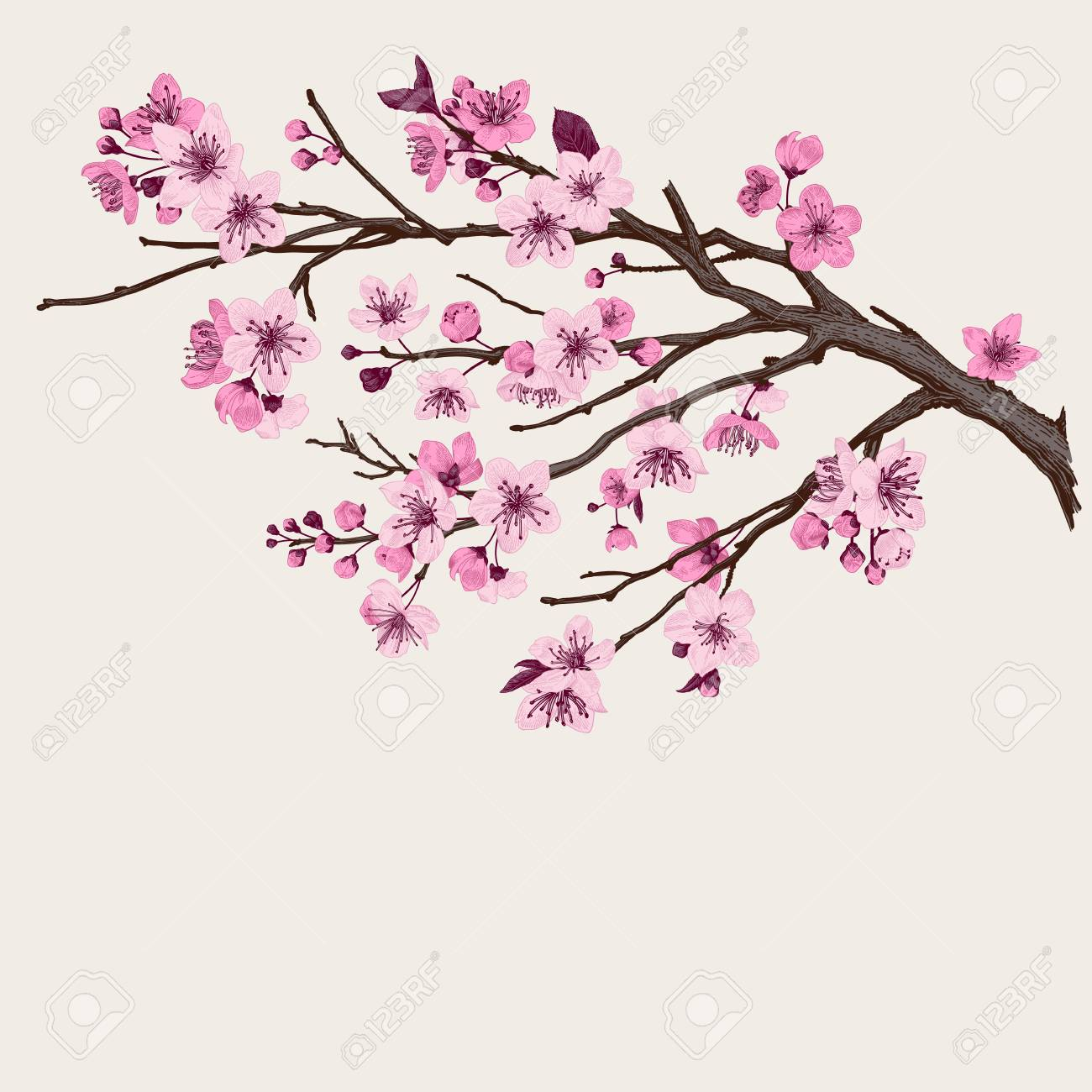Sakura Pink Cherry Blossom Branch Vector Botanical Illustration Royalty Free Cliparts Vectors And Stock Illustration Image 93216381