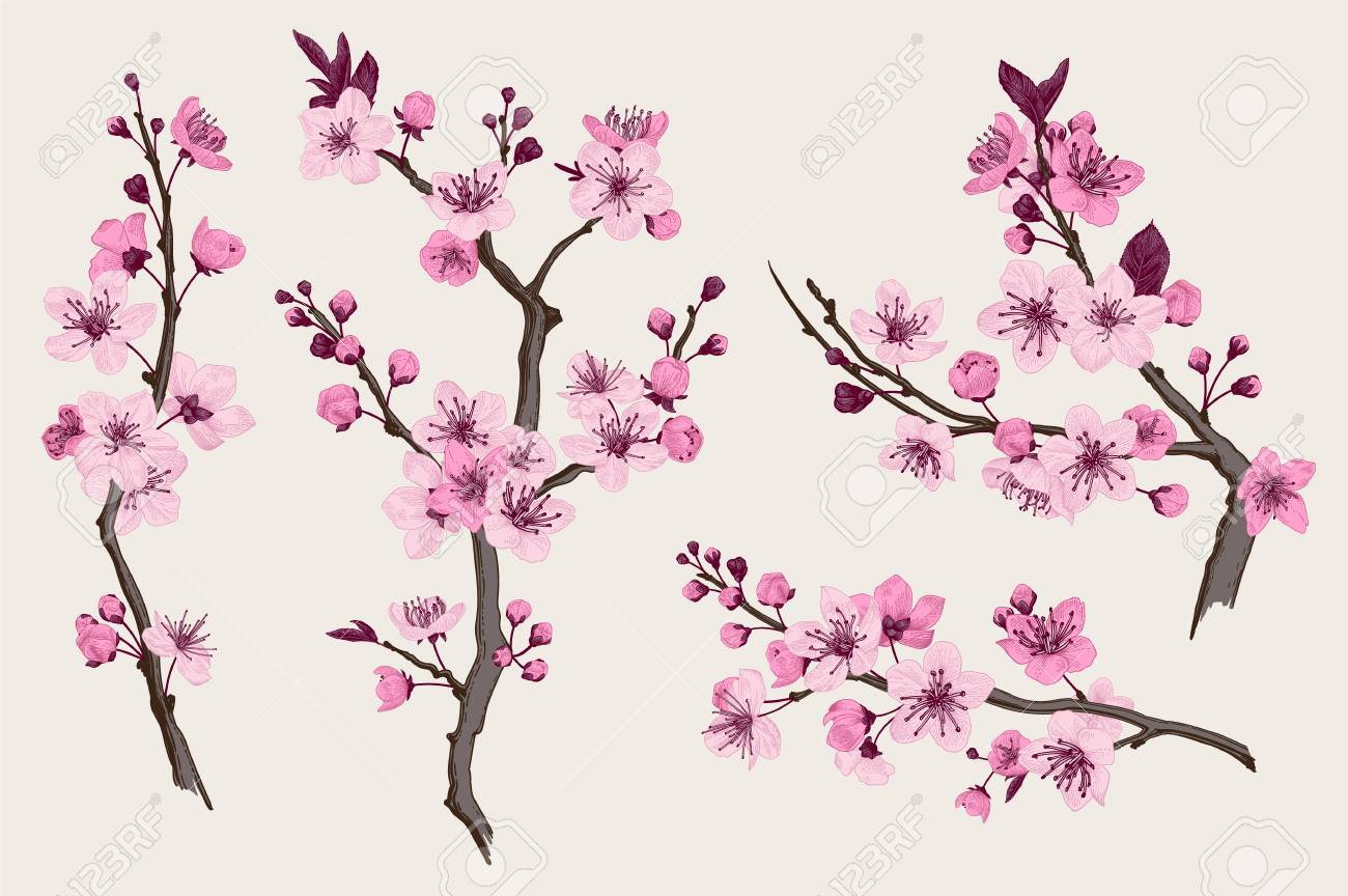 Sakura. Pink cherry blossom branch. Vector botanical illustration. Set - 93216389