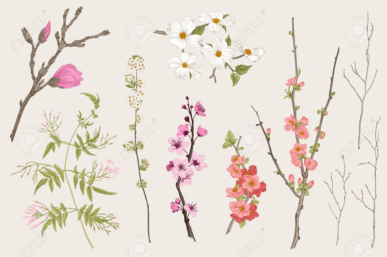 Blooming gargen. Spring Flowers and twig. Magnolia, spirea, cherry blossom, dogwood, jasmine, quince, birch twig. Vintage vector botanical illustration - 96566753
