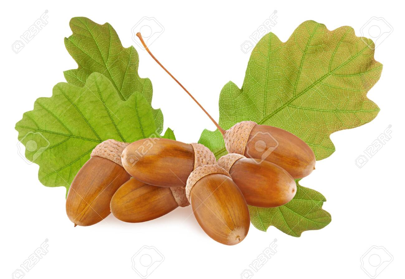 Acorn Isolated Small Group Of Ripe Brown Acorns And Green Oak Stock Photo Picture And Royalty Free Image Image 135262313