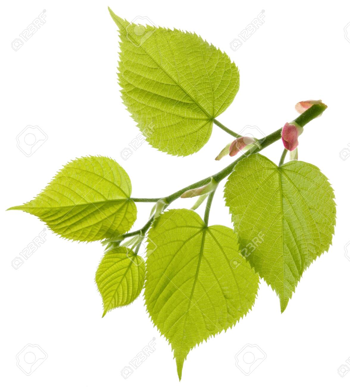 Linden tree fresh branch with green leaves isolated on white background - 135264264